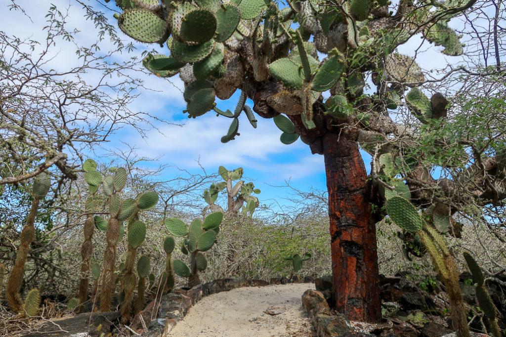 Kaktusy na wyspch Galapagos