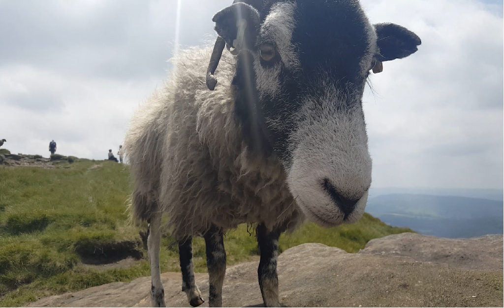 Kinder Scout Peak District owce , atrakcje i pomysły na weekend w połnocnej anglii
