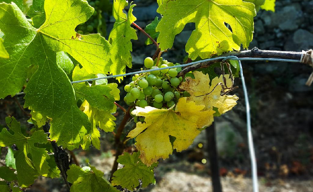 Winnice w Cinque Terre