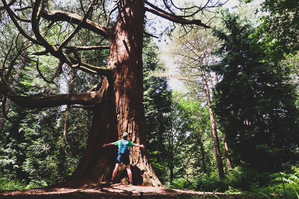Amerykańska sekwoja w lesie Leigh Woods w Bristolu