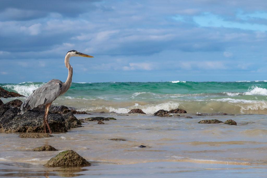 Czapla szara na galapagos plaża na wyspie izabela