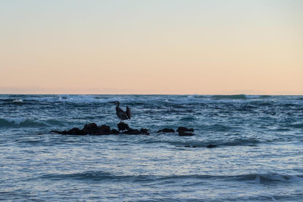 Żółwie Wyspy, Pelikany na Pacifiku