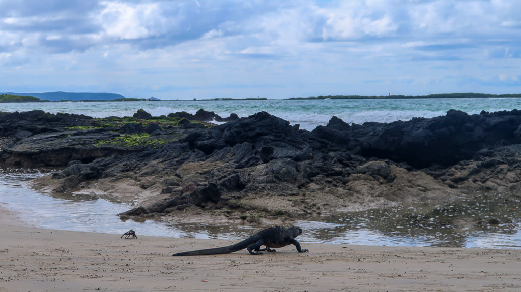 Iguana Czarna Galapagos, Czerwony Krab na plaży