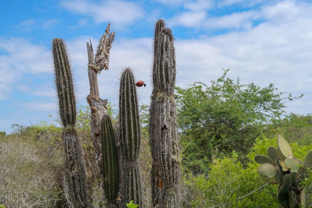 Kaktusy na Galapagos rosną po kilka milimetrów na rok